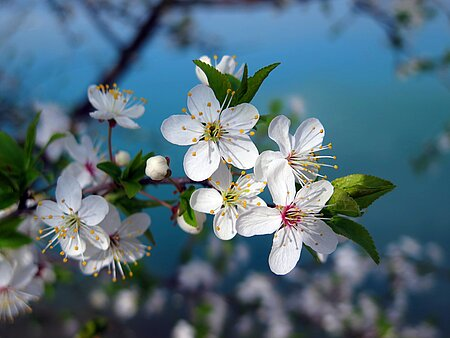 Kirschblüte in der Fränkischen Schweiz 2021