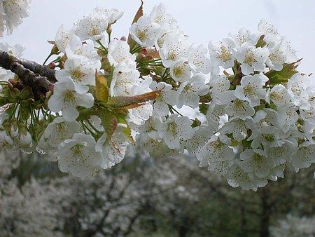 Egloffstein Kirschblüte